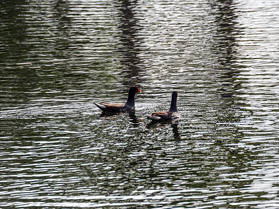 A pair of Gallinules on the aqua range.