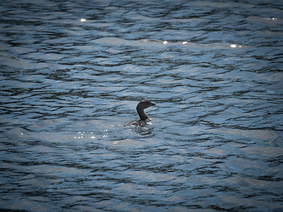 Baby Cormorant at the Aqua Range in The Groves