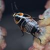 Ellipsidion australe  nymph