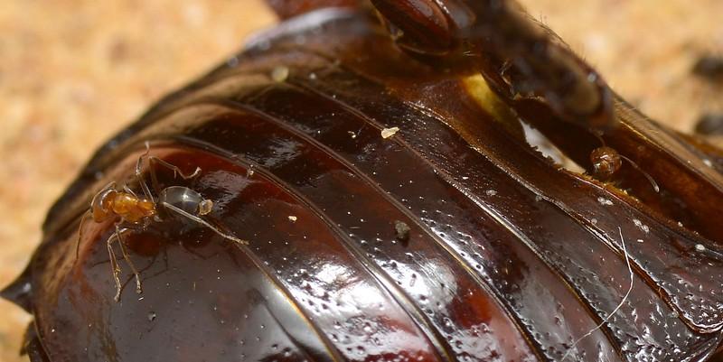 Desert Burrowing Cockroach -  Geoscapheus sp. cf. dilatatus exoskeleton with Camponotus ants