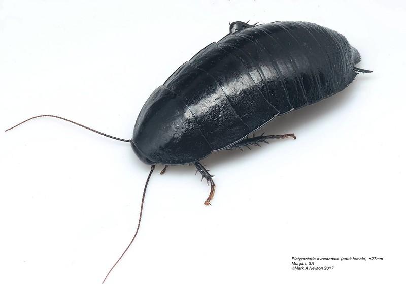 Platyzosteria avocaensis  (adult fermale)