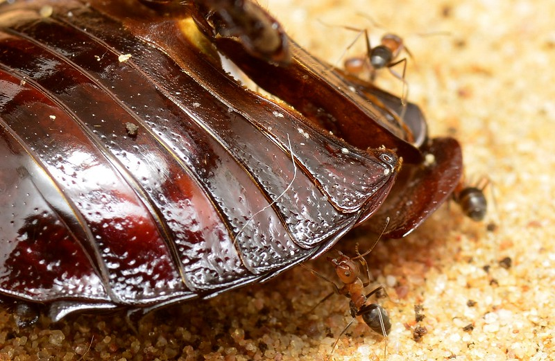 Desert Burrowing Cockroach -  Geoscapheus sp. cf. dilatatus   exoskeleton