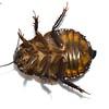 Desert Burrowing Cockroach -  Geoscapheus sp. cf. dilatatus   juvenile
