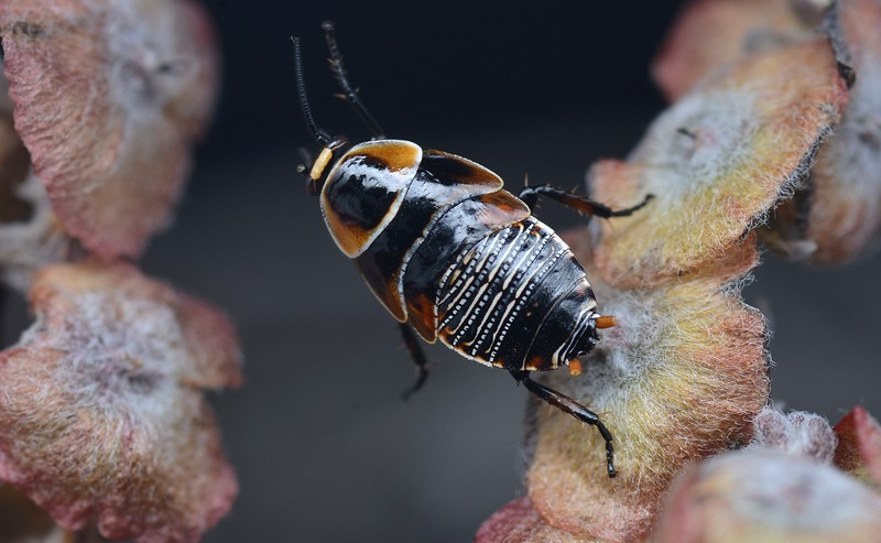 Ellipsidion australe  nymph