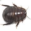 Desert Burrowing Cockroach -  Geoscapheus sp. cf. dilatatus