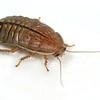 Zonioploca medialinea - Midline Desert Cockroach