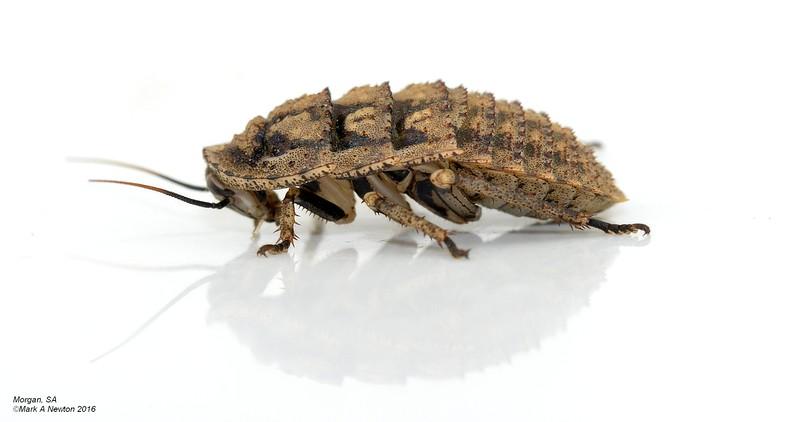 Euzosteria tuberculata