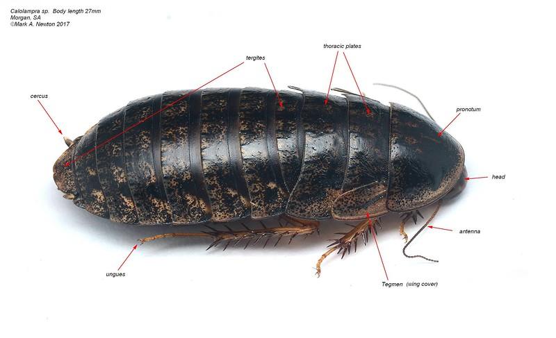 Calolampra sp  (adult female) body length 27mm