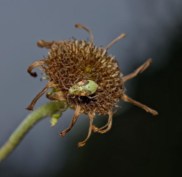 Lygus sp nymph, September