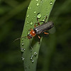 Cantharis sp, May