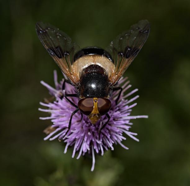 Volucella pellucens male, August