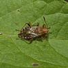Rhopalus subrufus, August