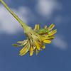 Leptophyes punctatissima nymph, June