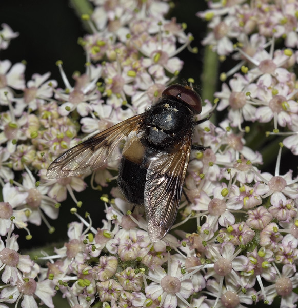 Volucella pellucens male, June