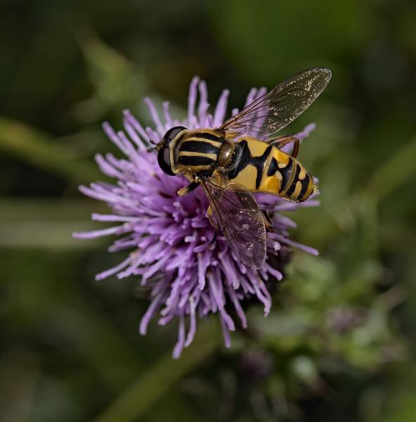 Helophilus sp female, August