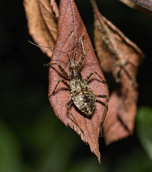 Himacerus apterus nymph, July