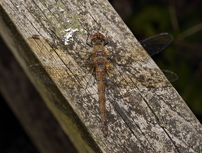 Common darter - Sympetrum striolatum, September