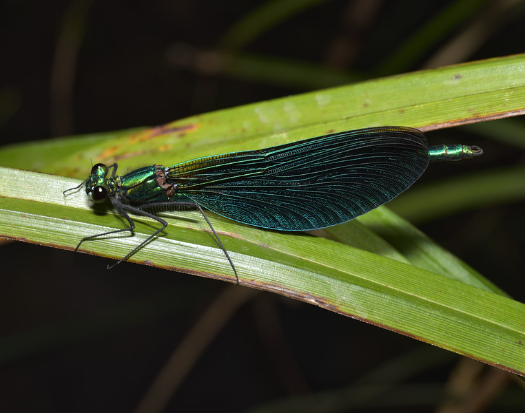 Beautiful Demoiselle, Calopteryx virgo, male, June