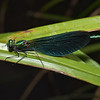 Beautiful Demoiselle, Calopteryx virgo, male, June