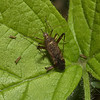 Phytocoris sp, July