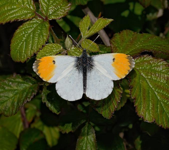 Orange Tip male, May