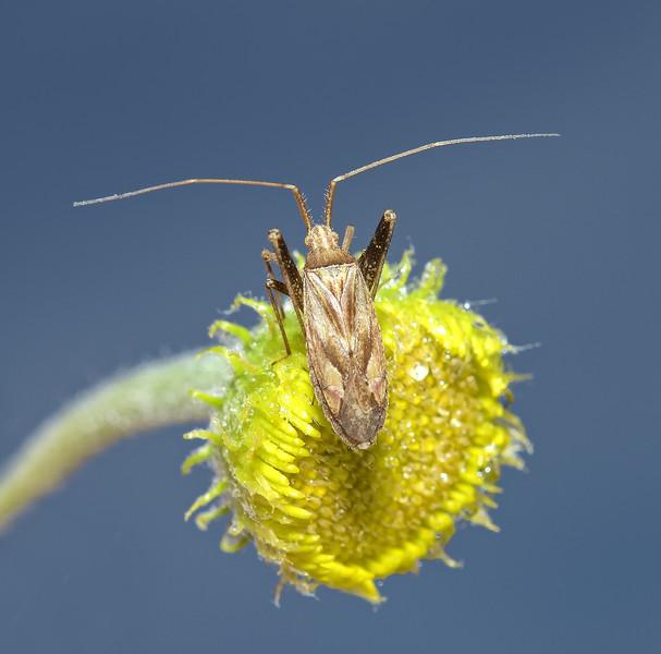 Phytocoris varipes, August