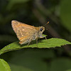 Large Skipper, Junev