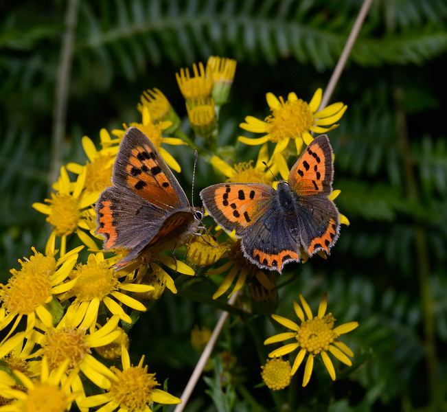 Small Copper, August