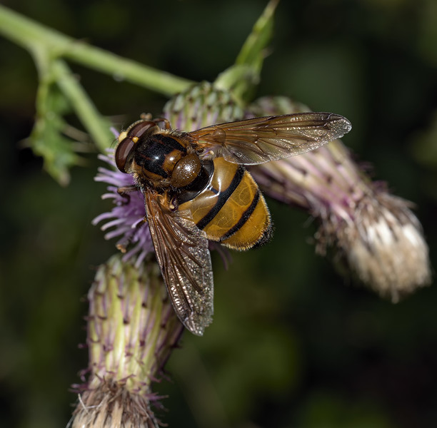 Volucella inanis, August