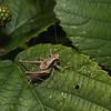 Pholidoptera griseoaptera, August