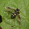 Xanthogramma pedissequum male, August