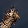 Phytocoris varipes, July