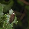 Ectobius lapponicus, May