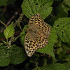 Silver-washed Fritillary, August