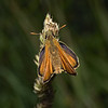 Small Skipper, June