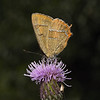 Brown Hairstreak, August