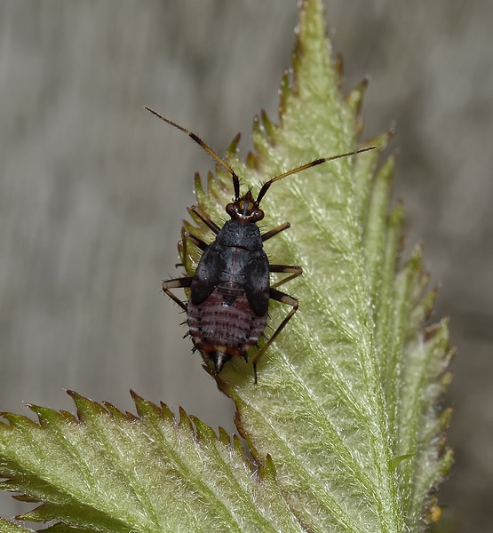 Deraeocoris ruber nymph, July