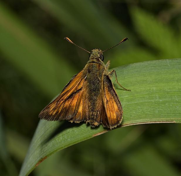 Large Skipper, July
