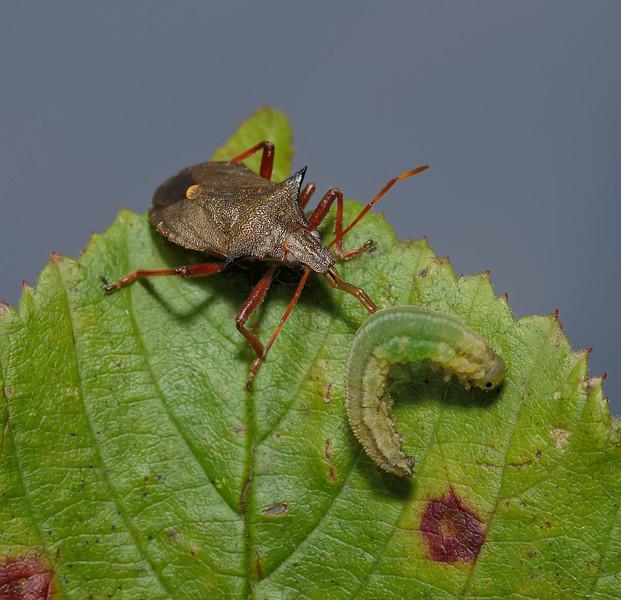 Picromerus bidens with sawfly larva prey,  September