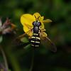 Chrysotoxum festivum female, August