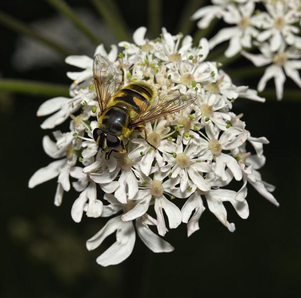Myathropa florea female, June