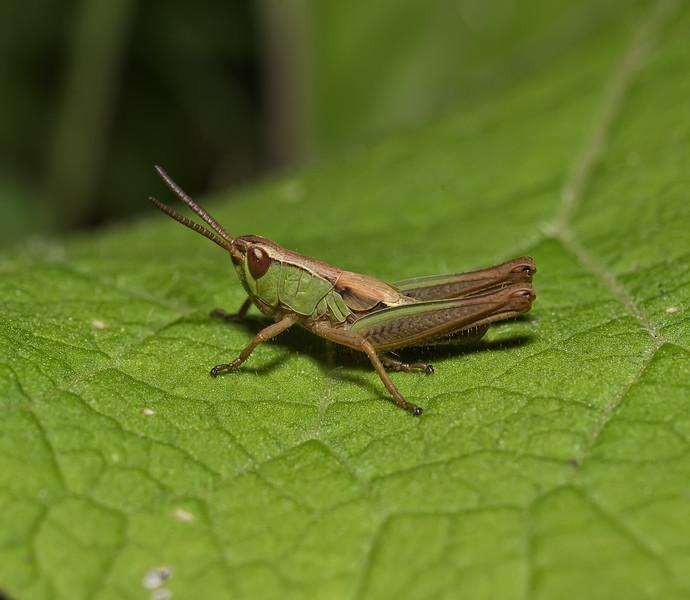 Meadow Grasshopper, Chorthippus parallelus, July