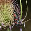 Narrow-bordered Five-spot Burnet, July