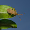 Box Bug, Gonocerus acuteangulatus, May
