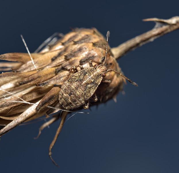 Stictopleurus punctatonervosus nymph, August