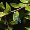 Lacewing, May