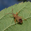 Box Bug, Gonocerus acuteangulatus, September