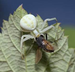 Misumena vatia with prey, June