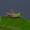 Meadow Grasshopper, Chorthippus parallelus, September