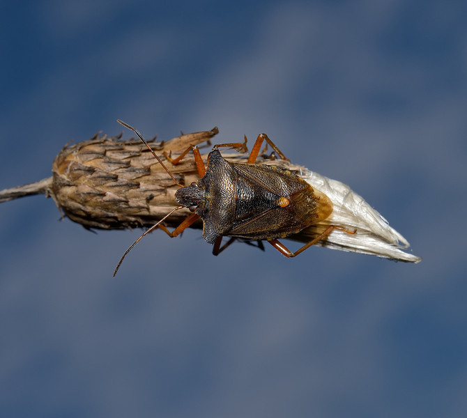 Forest Shieldbug - Pentatoma rufipes, September